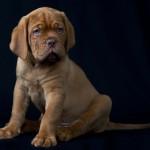 Замечтальный щенок бордоского дога_
