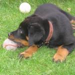 Щенок босерона играет с мячом