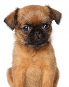 Милый щенок брюссельского гриффона