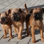 Троица брюссельских гриффонов