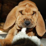 Озорной щенок бладхаунда