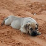 Щенок бульмастифа на песке