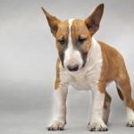 Неуверенный щенок бультерьера