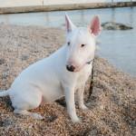 Бультерьер на песчаном пляже