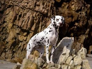 Далматинец на скалах