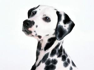 dalmatinets (15)