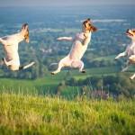Самые прыгучие собаки - джек-рассел-терьеры