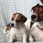 Мама и щенок джек-рассел-терьеры