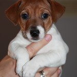 Милый щенок джек-рассел-терьера