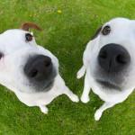 Любопытные носы джек-рассел-терьеров
