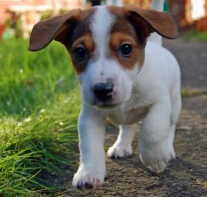 Любопытный щенок джек-рассел-терьера