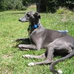 Грейхаунд светло-серого окраса на траве