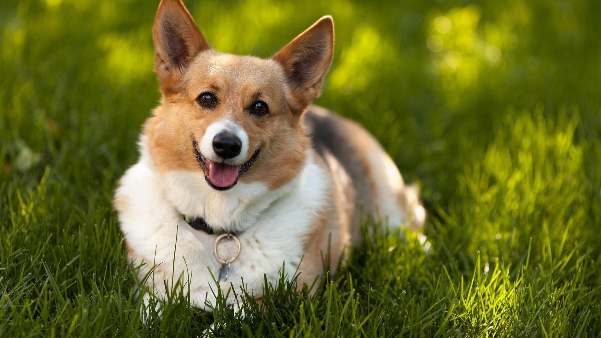 корги порода собак знакомство с породой