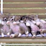 Щенки вельш корги спят на лавочке