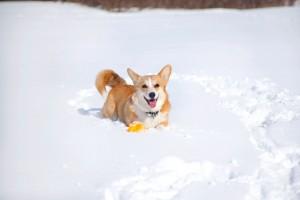 Рыжий вельш корги на снегу