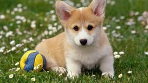Милый щенок вельш корги с мячом