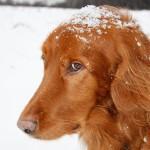 Ирландский сеттер на снегу
