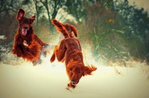 Игры ирландских сеттеров на снегу