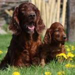 Мама и щенок - ирландские сеттеры