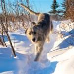 Зимняя прогулка ирландского волкодава