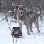 Ирландский волкодав с другом в зимнем лесу