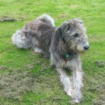 Ирландский волкодав на траве