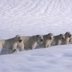Морозойстойчивые ирландские волкодавы