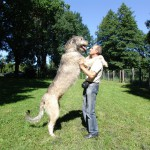 Ирландский волкодав- рекордсмен по росту