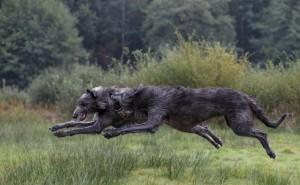 Стремительные ирландские волкодавы