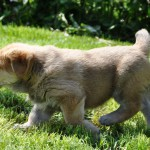 Любопытный щенок испанский мастиф