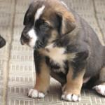 Милый щенок испанского мастифа