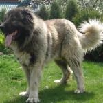 Длинношерстная кавказская овчарка