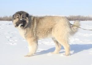 Зимняя прогулка кавказской овчарки
