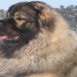 Кавказская овчарка с шикарной шубой