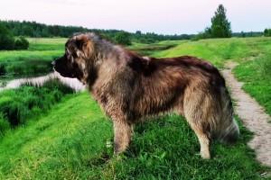 Кавказский волкодав на равнине