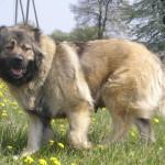 Взрослый кавказский волкодав на поляне