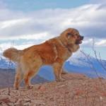 Красивый кавказский волкодав