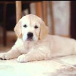 Милый щенок золотистого ретривера