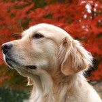Золотистый ретривер на фоне осеннего дерева