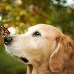 Золотистый ретривер и бабочка