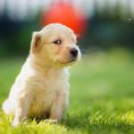 Хитрый щенок золотистого ретривера