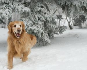 Золотистый ретривер в зимнем лесу