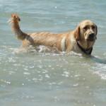 Золотистый ретривер - лучший пловец