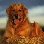 Золотистый ретривер - собака на сене