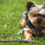 Йоркширский терьер играет с палкой