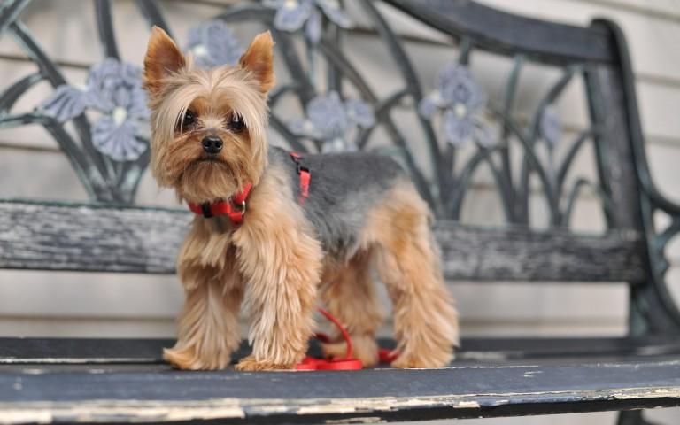 Собаки йоркширский терьер в москве