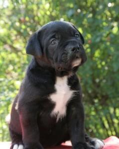 Черный щенок кане корсо