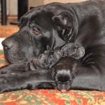 Мама-кане корсо с щенятами