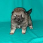 Милый щенок кеесхонда