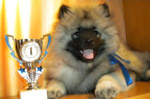 Молодой вольфшпиц - чемпион